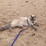 Micky, my parents cat, who walks on a lead.